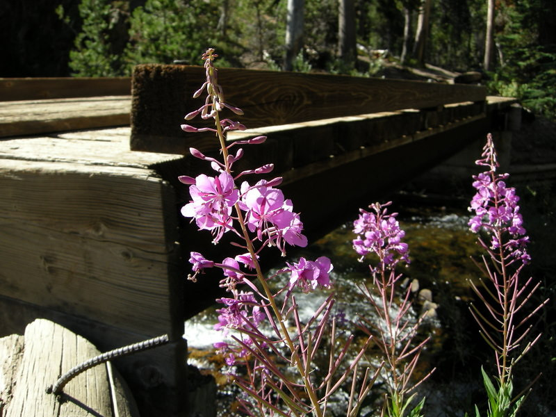 Fireweed at the bridge by Shadow Lake