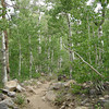 The last mile is through this beautiful aspen grove