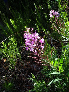 Fireweed at the trailhead