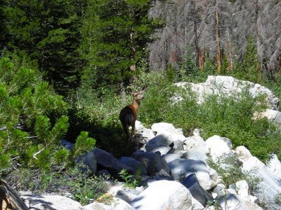 Deer in Palisade Canyon  Someone mentioned that the deer were being over-hunted by mountain lions in this region, but we saw several over this day and the next. This girl was, coincidentally, near Deer Meadow.