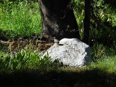 A baby grouse! So cute...