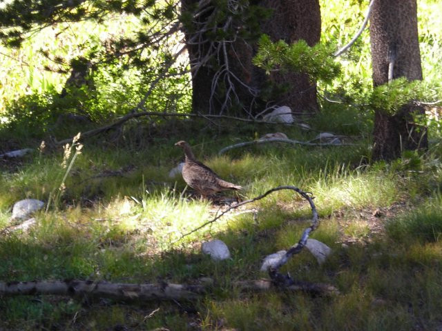 A grouse<br /> <br /> (hmm.... we saw a deer near Deer Meadow, a grouse near Grouse Meadow - remind me to stay away from anything called Mountan Lion or Bear Meadow!)