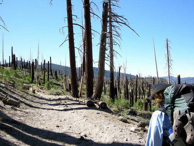 Remnants of the 1992 Rainbow Fire  The JMT passes through this burnt out forest for a mile or so
