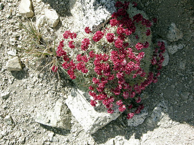 Pussypaws - a stubborn plant that can live in these conditions.