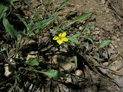 Common Name: Mountain Violet Location: Jennie Lakes Wilderness Date: June 16, 2007 Color: Yellow Details: Viola purpurea