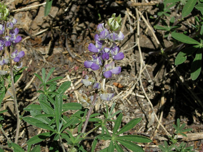 Lupine  Right after I snapped this photo, a 2 ft diameter tree came crashing down across the trail behind me. YIKES!