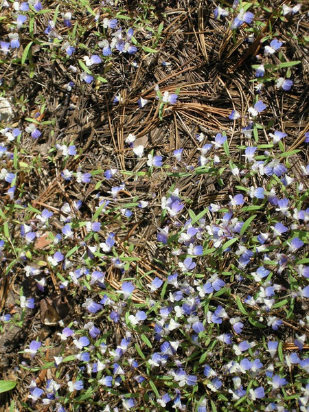 Maiden Blue-Eyed Mary<br /> <br /> Small purple and white flowers