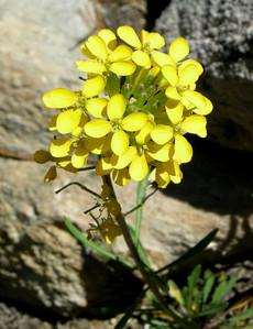 Name: Sierra Wallflower (Erysimum capitatum) Location: Kaiser Wilderness Date: June 22, 2008
