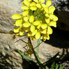 Name: Sierra Wallflower (Erysimum capitatum)<br /> Location: Kaiser Wilderness<br /> Date: June 22, 2008
