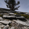 Awesome trees on the summit of Liberty Cap
