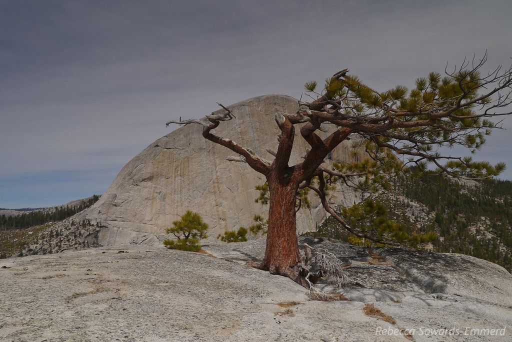 Liberty Cap Summit tree and Half Dome in the near distance.
