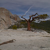 Tree on the summit of Liberty Cap