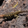 Granite Spiny Lizard<br /> <br /> Bigger than a typical fence lizard - about 2-3 inches wide and 10 inches long. Spiky neck. Yellow on the back was closer to a lime green in real life - camera didn't pick up the color well. Think it's a granite spiny lizard.