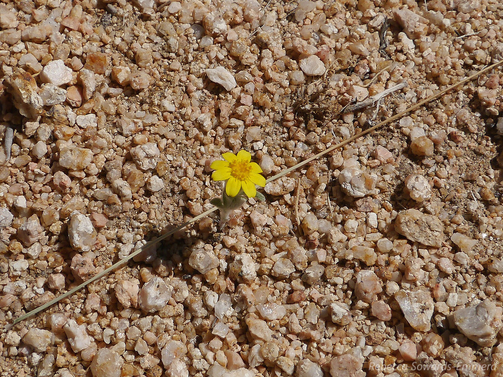 A solitary goldfield on the Short Canyon Trail