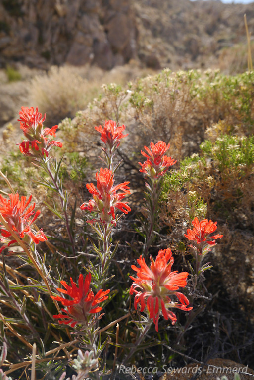 Paintbrush along the trail