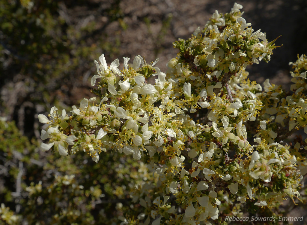 Unknown bush in bloom