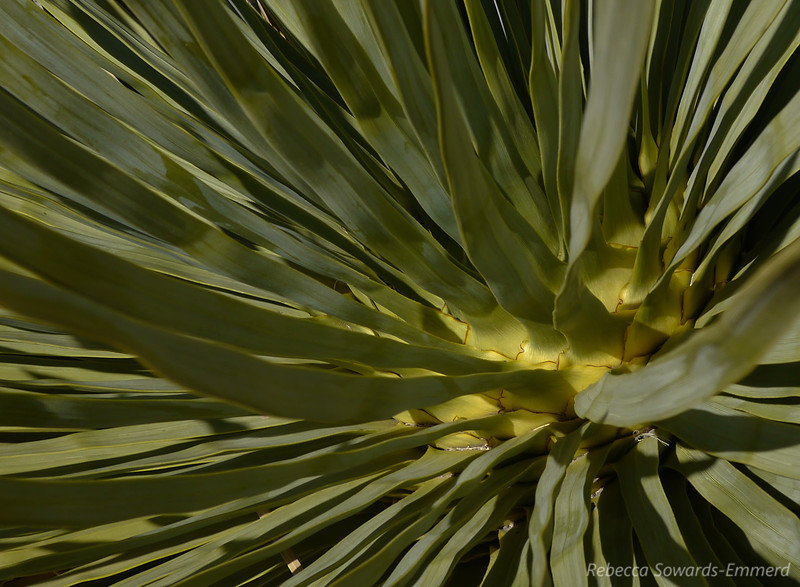 The inside of this yucca looked like an artichoke.