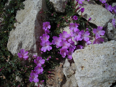 Name: Rock Fringe (Epilobium Obcordatum)  Location: New Army Pass Date: September 3, 2006