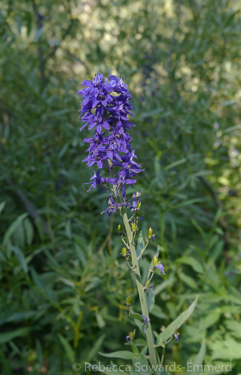 Larkspur along the trail.