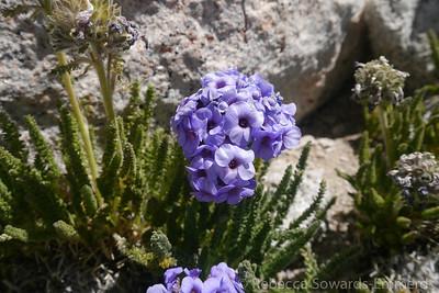 Yay, a little polemonium flower has hung on for me!