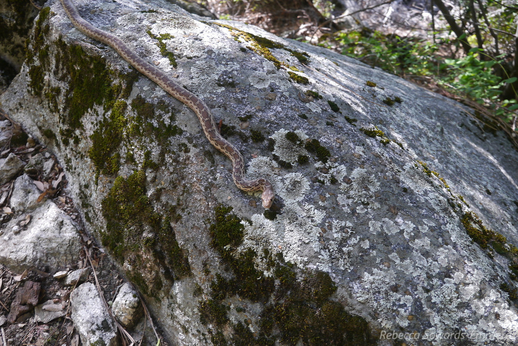 Ohhai, cute little gopher snake!