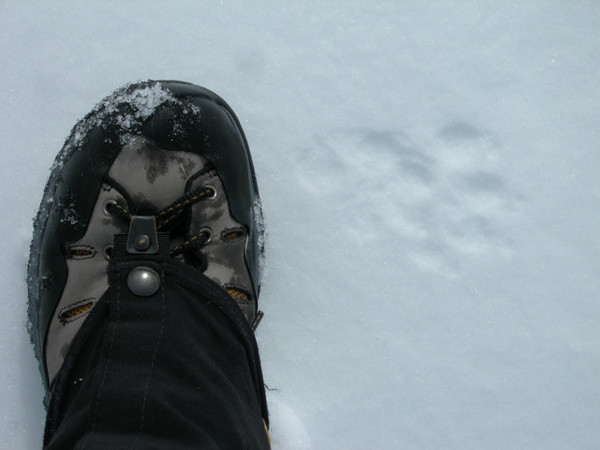 Unidentified footprint along the trail - probably marten or fisher