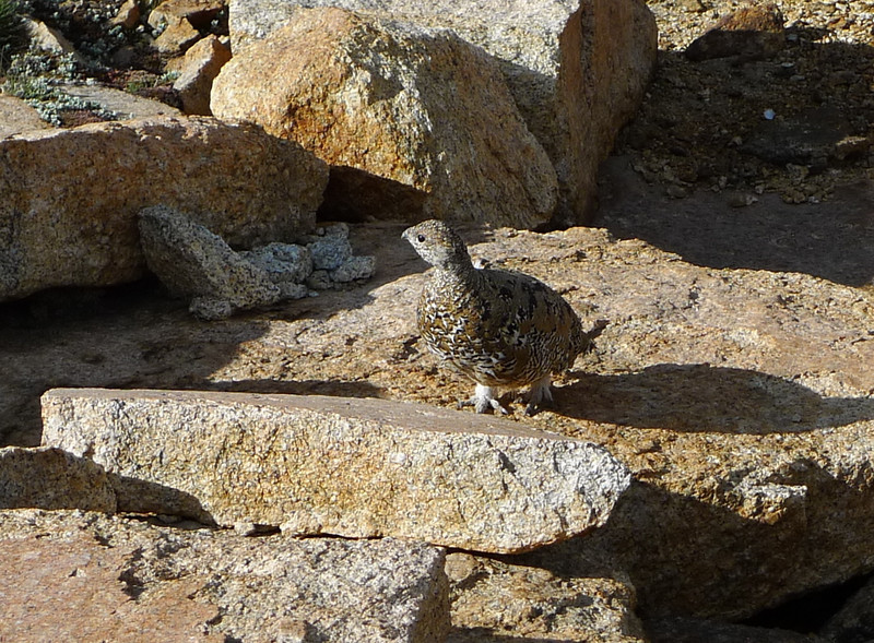 Baby grouse/sage hen. We saw a couple of them hopping around the rocks. Awww.