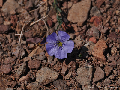 An occasional blue flax would also pop out of the red rocks.