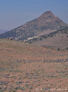 Stanislaus Peak and a carpet of lupine.