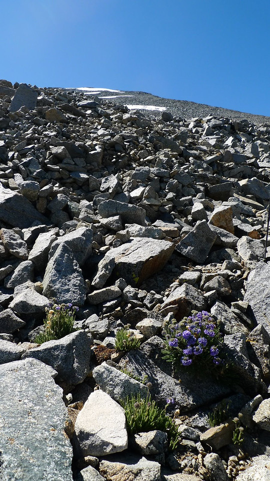 Polemonium guides the way up the peak.