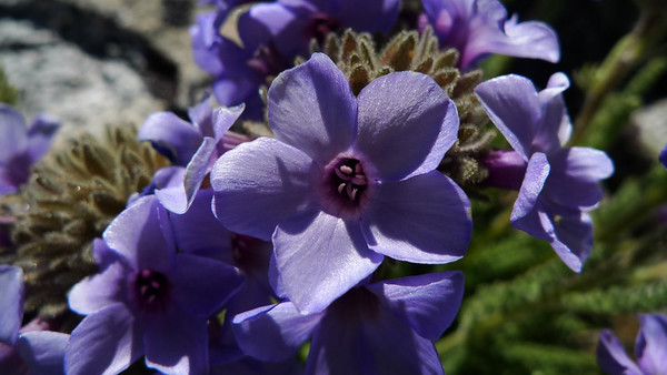 Gorgeous color, great smell, and living in my favorite place - the highest peaks of the Sierra. How can it NOT be my favorite flower?