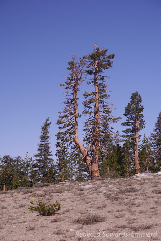 Tuning fork tree at the pass.
