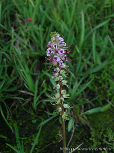 Name: Elephant Heads (Pedicularis groenlandica) Location: Between Lyell Canyon and Donohue Pass, Yosemite National Park Date: July 30, 2009