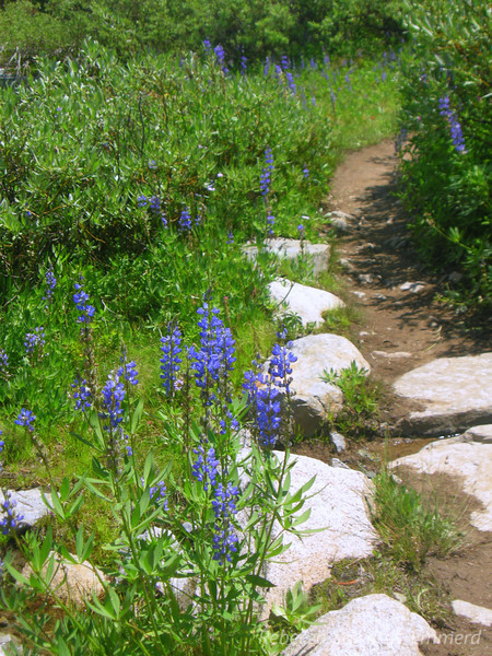 Lupines line the trail at Island Pass