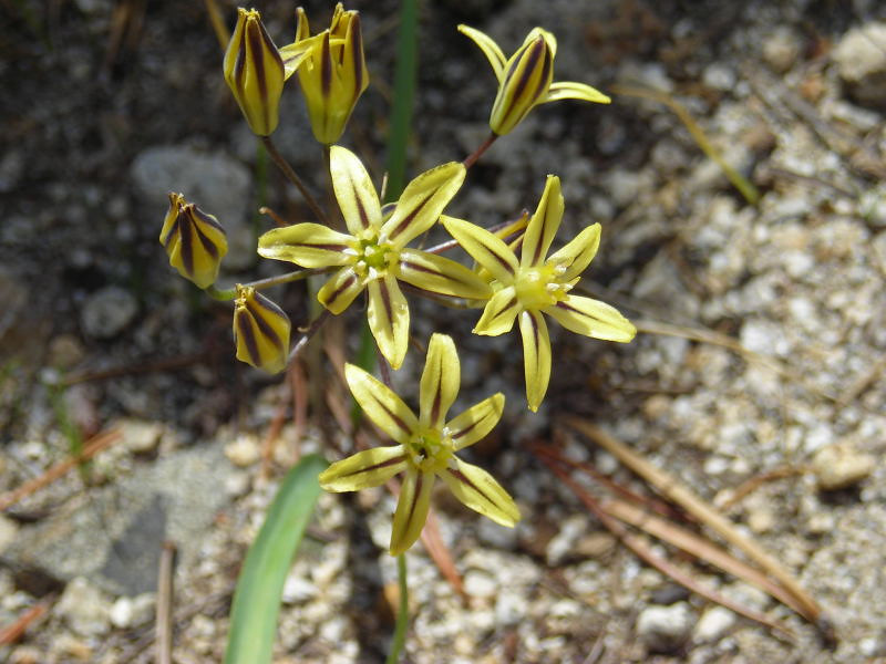 Name: Pretty Faces (Triteleia ixioides)<br /> Location: Desolation Wilderness<br /> Date: July 22, 2006