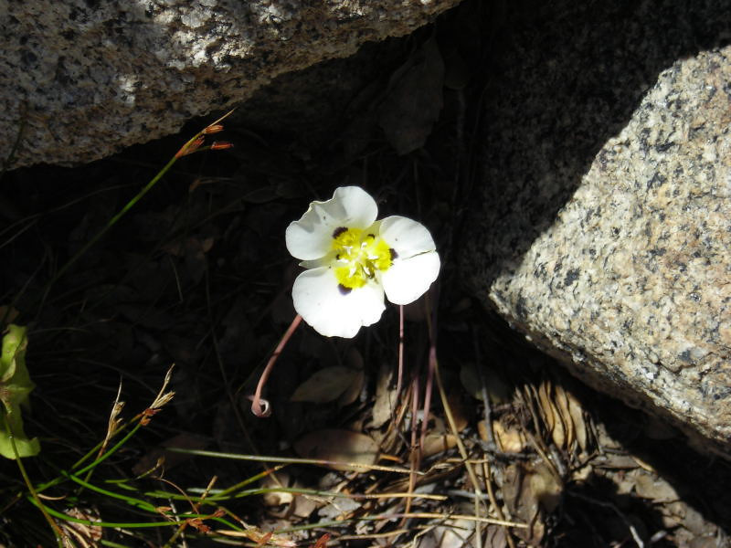 Common Name: Mariposa Lily (Calochortus leichtlinii)<br /> Location: Desolation Wilderness<br /> Date: July 22, 2006