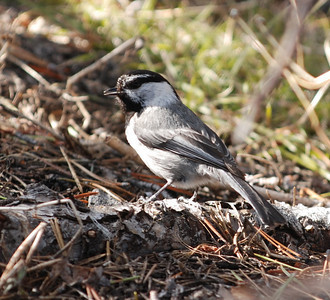Junco  Photo by Dave