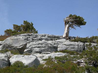 Wind swept tree on granite