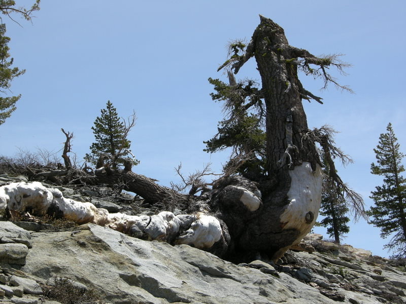 Knarled dead tree on the trail to Phipps Peak