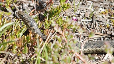 Garter Snake near camp  Photo by Dave