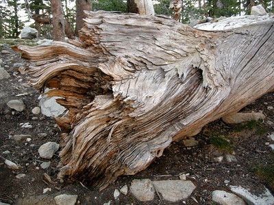 Tree Stump at Upper Chain Lake