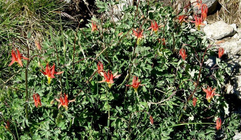 Common Name: Crimson Columbine (Aquilegia formosa)<br /> Location: Southern Yosemite<br /> Date: July 1, 2007