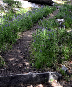 Lupine-lined trail to Moraine Meadow