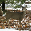 These deer were only 100 feet away from him - they noticed the bobcat