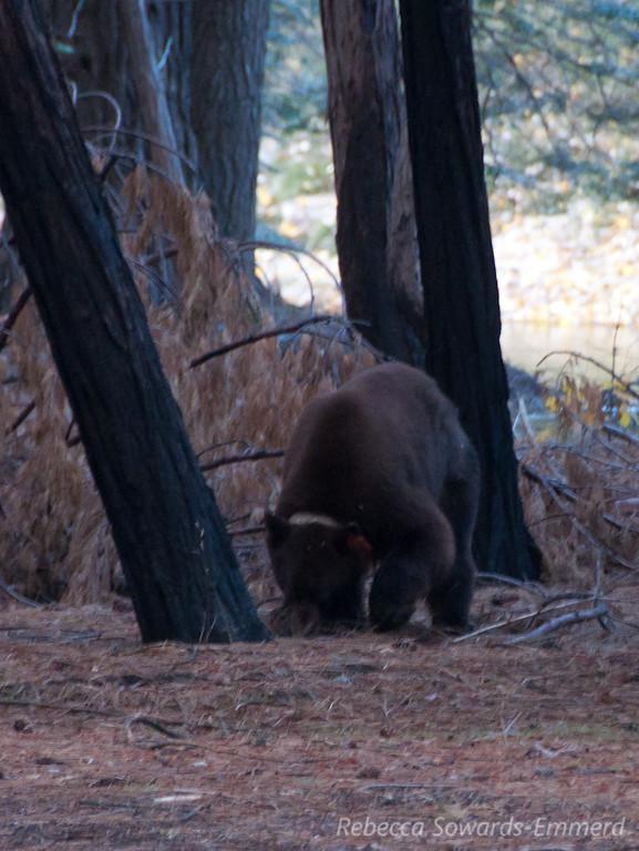 Yosemite Bear Orange #66