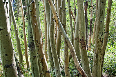 birch-tree-trunks