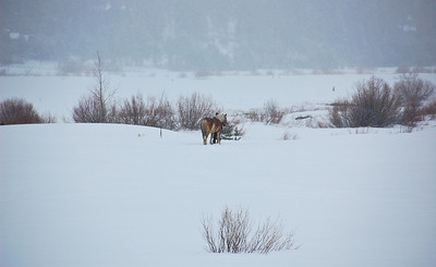 horse-snow