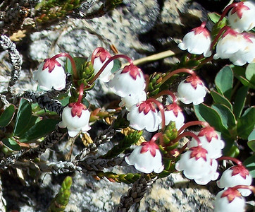 White Mountain Heather - John Muir's favorite flower.