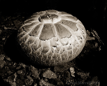 Sierra Nevada Mushroom
