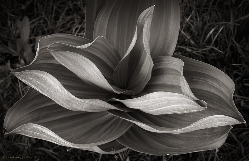 California Corn Lily